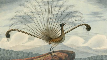 Lyrebird_by_convict_artist_Richard_Browne